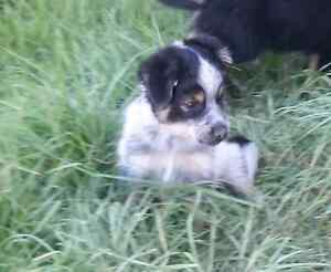 Border Collie x Blue Cattle puppies Gunning Upper Lachlan Preview