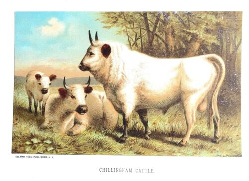 1885 Prang Chromo CHILLINGHAM CATTLE Cows/Bulls NICE WONDERFUL PRINT L@@K!