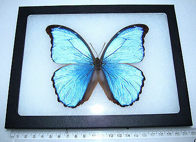 REAL FRAMED BUTTERFLY BLUE MORPHO DIDIUS PERU