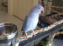 Indian Ringneck Violet   1 year old Queanbeyan Queanbeyan Area Preview
