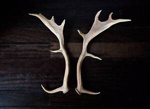 Naturally Shed Deer Antlers Katoomba Blue Mountains Preview