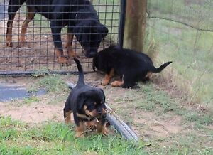 Rottweiler pup Cardup Serpentine Area Preview