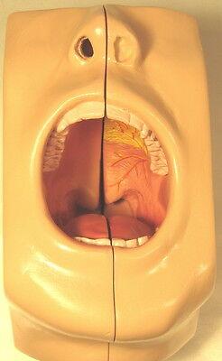 Oral Dental Human Teeth Tooth Anatomical Model Mouth Anatomy Densist Life Size