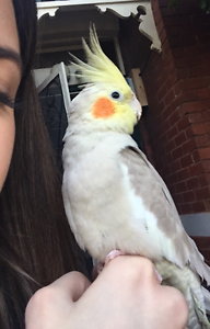 Lost Cockatiel!! Cinnamon, white markings, loved pet South Yarra Stonnington Area Preview