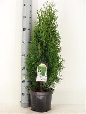 15 Thuja occidentalis Smaragd, Edelthuja, Höhe: 60-80 cm ab Topf, Zypresse