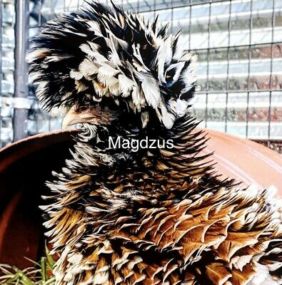12 Show Quality Tolbunt Polish Hatching Eggs Smooth And Frizzled