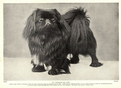 1930s Antique PEKINGESE Dog Print Champion Portelet Tzu Ting Photo Print 3700-J
