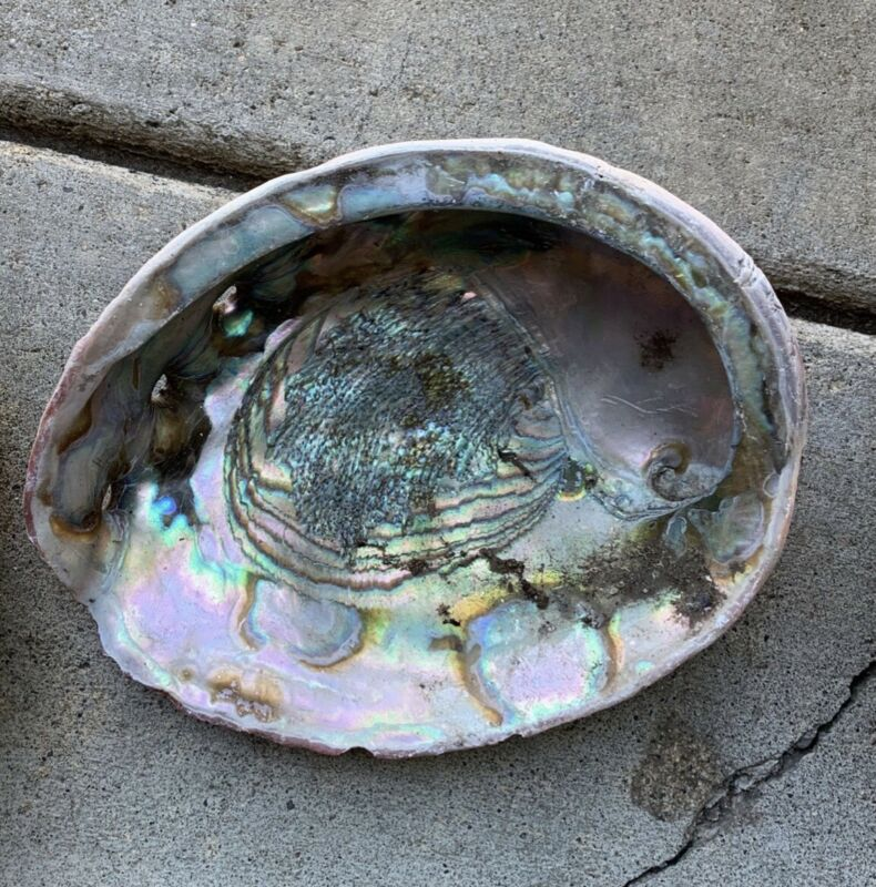 Abalone Shell, 7-9Inches+ Lot of 10 Shells. Perfect for Jewelry-making & Crafts