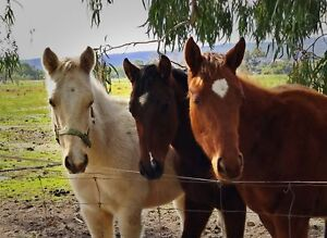 Three Weanlings for sale - Must go Byford Serpentine Area Preview