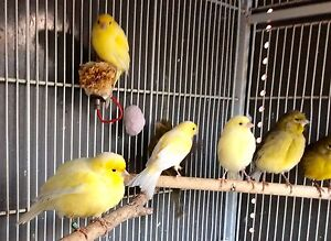 Canaries from $14 Rowville Knox Area Preview