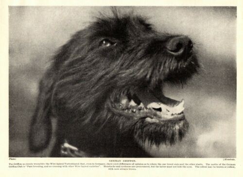 1930s Antique GERMAN Pointing Griffon Dog Print Vintage Griffon Dog Photo 3411-K