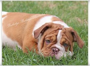 British Bulldog chocolate Merle male and chocolate female Marsden Park Blacktown Area Preview