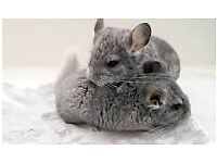 2 Male Chinchillas + Cage - FREE to a good home