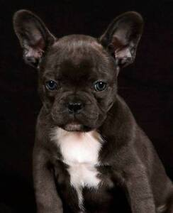 French Bulldog puppies Kilcoy Somerset Area Preview