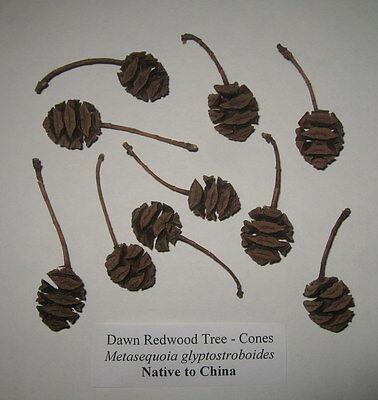 Lot of 10 Cones Dawn Redwood Tree Metasequoia glyptostroboides Fossil Sequoia