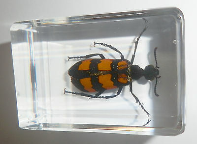 Details about Blister Beetle Mylabris phalerata Clear Paperweight Education  Insect Specimen