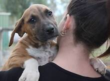 PUPPY FOR ADOPTION!! FEMALE CANE CORSO x CATAHOULA 10wks old Brisbane City Brisbane North West Preview