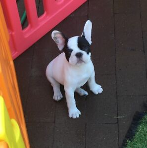 French Bulldog Winston Hills Parramatta Area Preview