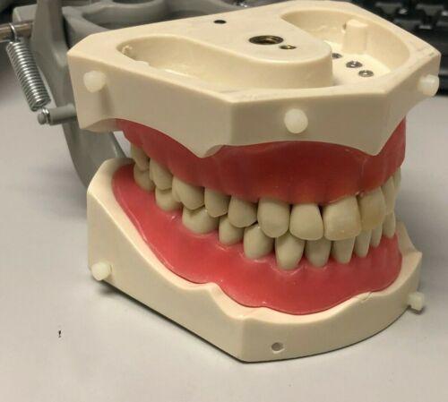 Columbia Dentoform Dental Typodont M-PVR-1560 used