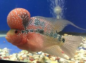 Flowerhorn per red dragon