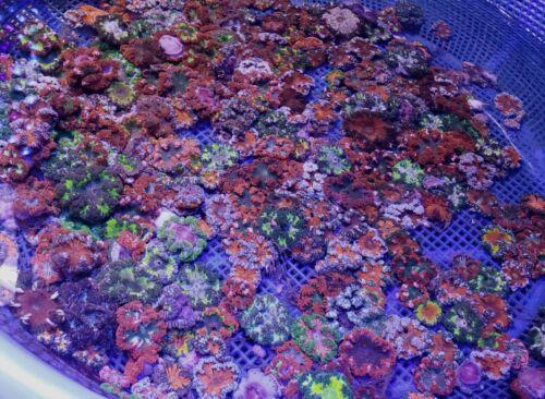 Rock Flower Anemones