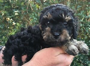 Stunning you cavoodle puppies Newcastle Newcastle Area Preview