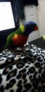 HAND REARED RAINBOW LORIKEET Thornlie Gosnells Area Preview