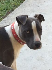 Roxy pure Amstaff needing a loving & energetic home Highland Park Gold Coast City Preview