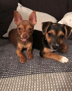 Two pups for sale Baldivis Rockingham Area Preview