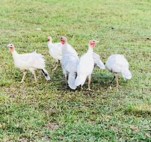 8x Turkeys for $70
