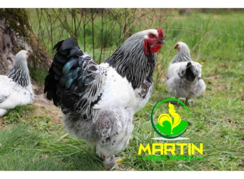 12+ Light Brahma Hatching Eggs (Large Fowl) NPIP Certified