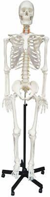 170 Cm Life Size Man Human Anatomical Anatomy Skeleton Medical Model With Stand