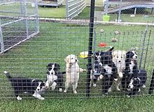 Perfect Border Collie puppies Kempsey Kempsey Area Preview