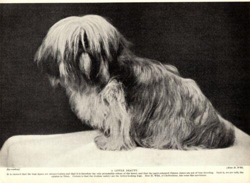 1930s Antique Lhasa Apso Dog Print Cheltenham Golden Lhasa Apso Photo 3642-F