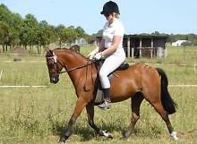 EXCEPTIONAL PONY FOR SALE Millers Forest Maitland Area Preview