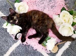 LOVING Super Friendly Rescue Kitten (Desexed, Vacc, Microchip)