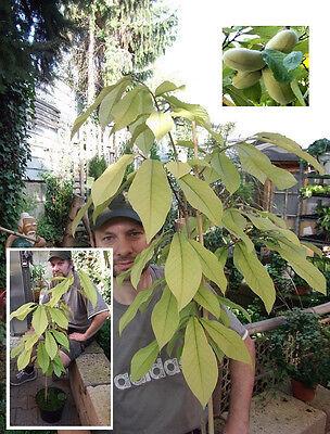 Zwei Pflanzen winterharte Indianerbanane - Köstliches Obst für Haus oder Garten