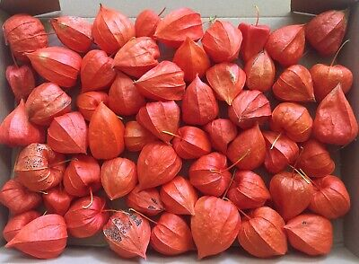 ch Lampionblume Physalis a. Blasenkirsche, Herbst Dekoration (Orange Lampions)