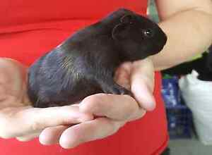 Baby guinea pigs Merrimac Gold Coast City Preview