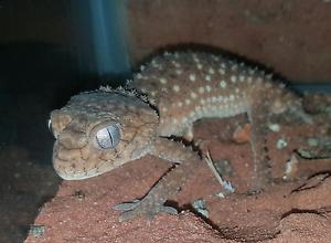 Male Centralian Knob Tail Gecko Cranbourne North Casey Area Preview