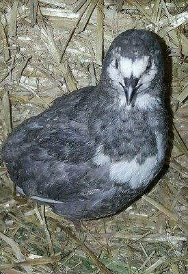 55+Organic Select RARE grey/blue/laced Coturnix Quail Fertile Hatching Eggs