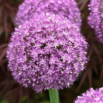 10 x Humphreys Garden Allium Ambassador Bulbs.Large Purple Globes Border Flowers