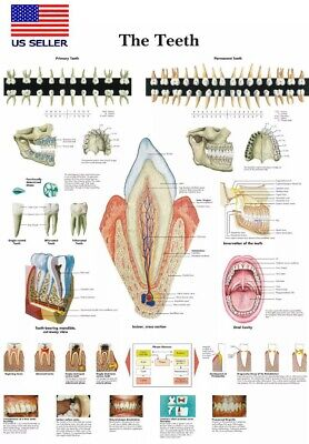 Teeth Poster Dental Poster Anatomy Teeth Poster 16x24 Education Poster