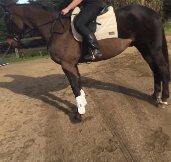 16.2hh rising 14yr old quiet horse needs experienced rider