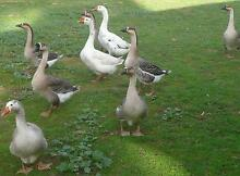 Chinese Gaggle of Geese Balhannah Adelaide Hills Preview