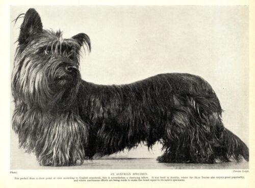 1930s Antique SKYE TERRIER Dog Print Austrian Specimen Skye Terrier 3514-F