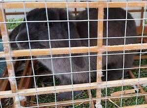 Female rabbit with cage. Medowie Port Stephens Area Preview
