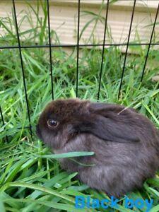 Mini lop cross boy bunnies