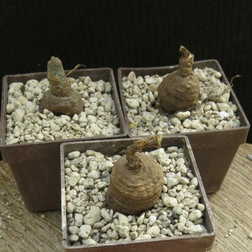 Monadenium aff.fanschawei,Caudex,Euphorbia,Bulb