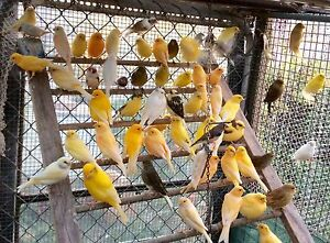 Canaries male & female from $ 15 each Rowville Knox Area Preview